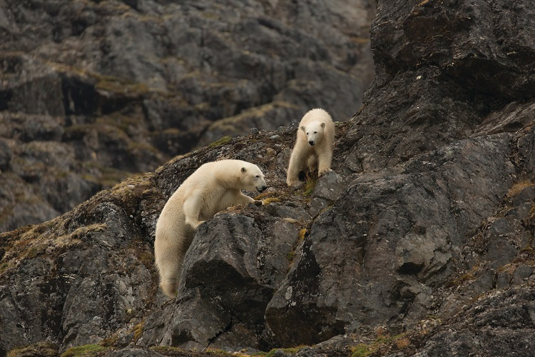 A mother and cub polar bear foraging for food in the Arctic