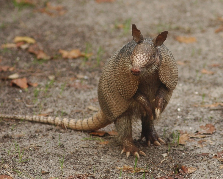 An armadillo standing on the forest floor in the Caribbean