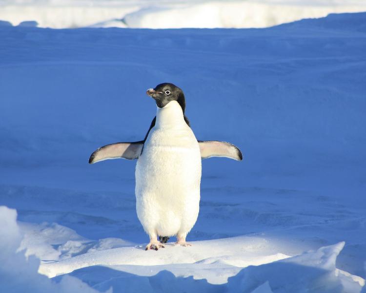 Penguin in the Polar Regions