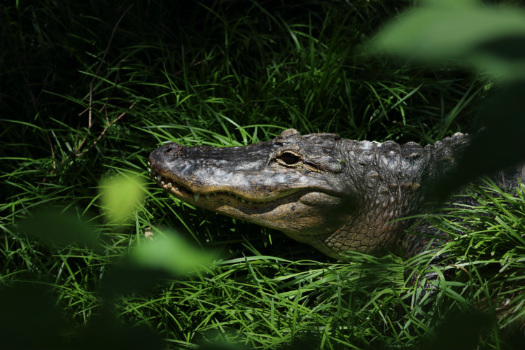 An alligator lying in the grass in the Florida Keys