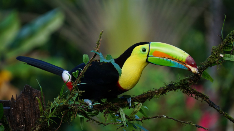 A keel-billed toucan eating fruit in the rainforest of Central America