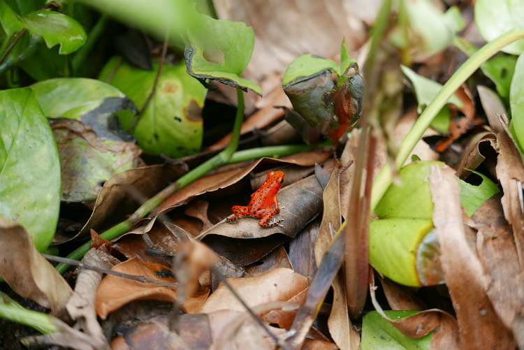 A poison dart frog sitting on leaves in a Central American rainforest
