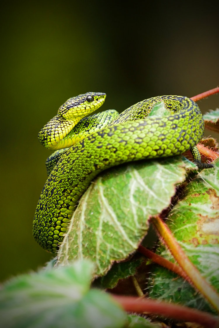 A bright green snake in a tree in the rainforest in Central America