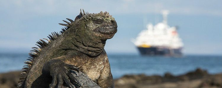 Galapagos wildlife - Marine iguana, resting on a rock