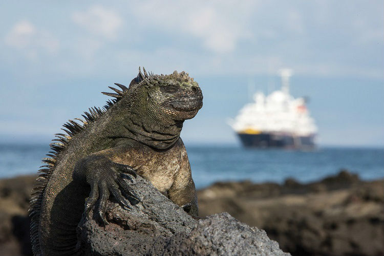 Galapagos wildlife - Marine iguana, resting on a rock