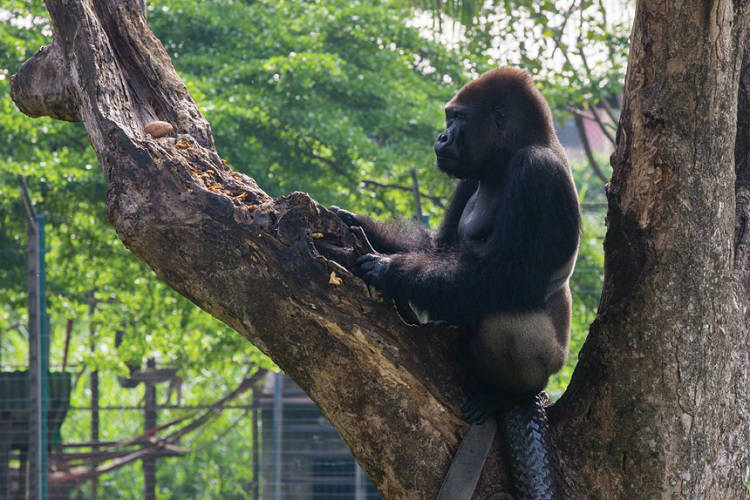 Gorilla in Africa - popular port for Silver Discoverer