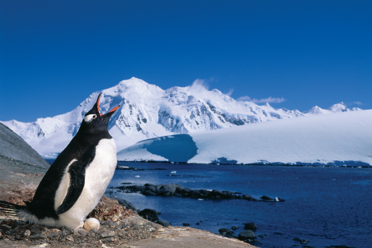 A Gentoo penguin sitting on an egg off Ushuaia near Antarctica