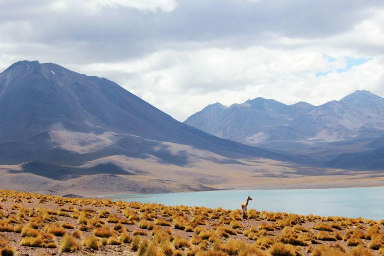 Llama amongst the vegetation in Chilean landscape