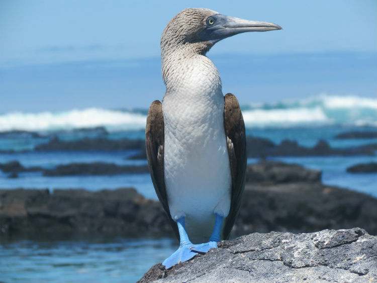 Blue-footed booby - Galapagos