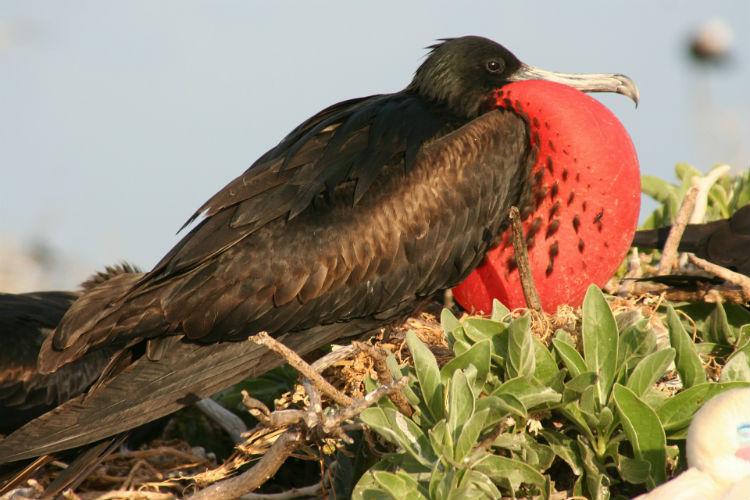 Frigatebird - Wildlife in the Caribbean