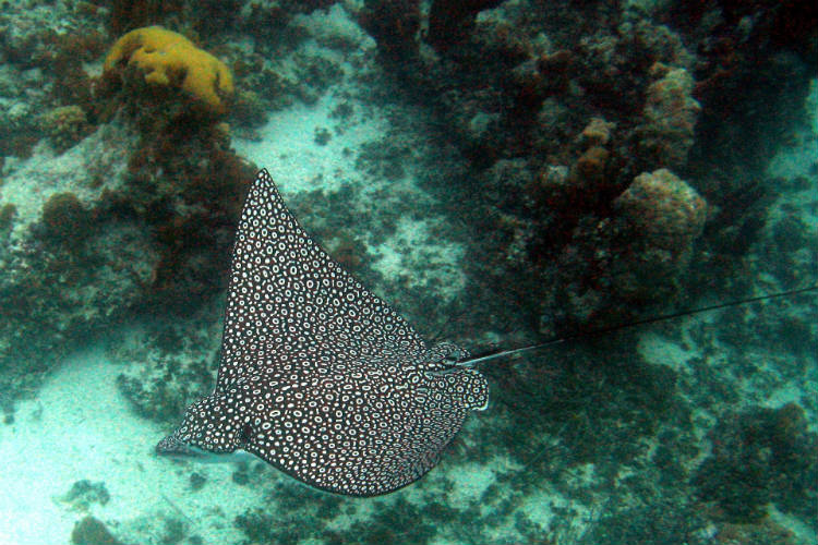 Spotted Ray - Wildlife in the Caribbean