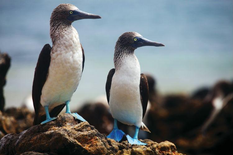 Blue-footed Boobie - Silversea