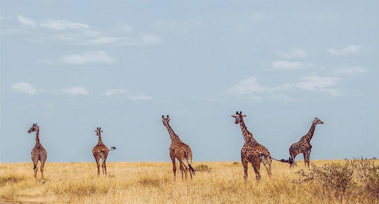 Giraffes in Africa - Seabourn World Cruise