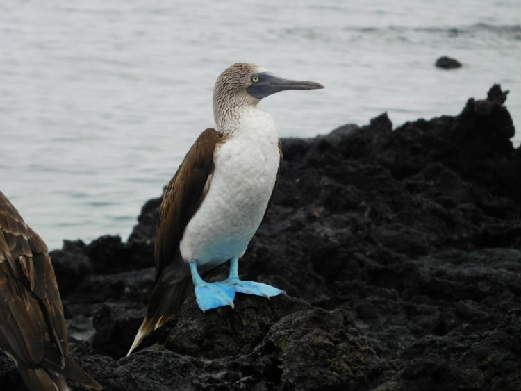 Blue-footed booby - Galapagos wildlife
