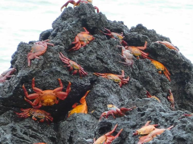 Sally-lightfoot crabs - Galapagos wildlife