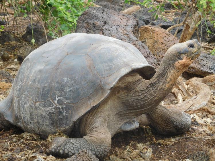 Galapagos Tortoise - Wildlife
