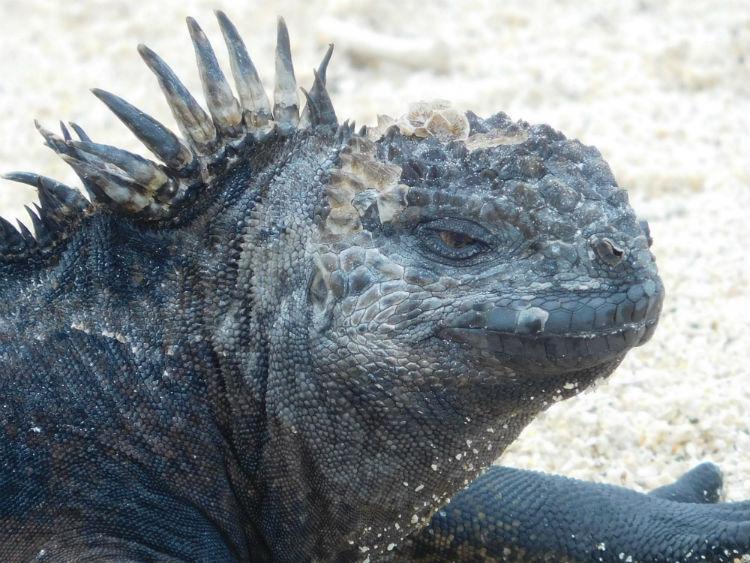 Marine Iguana - Galapagos Wildlife
