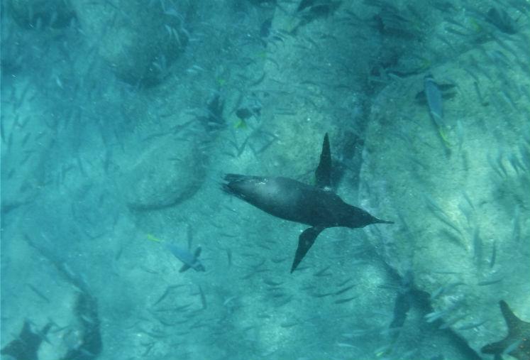 Penguin fishing underwater - Galapagos wildlife