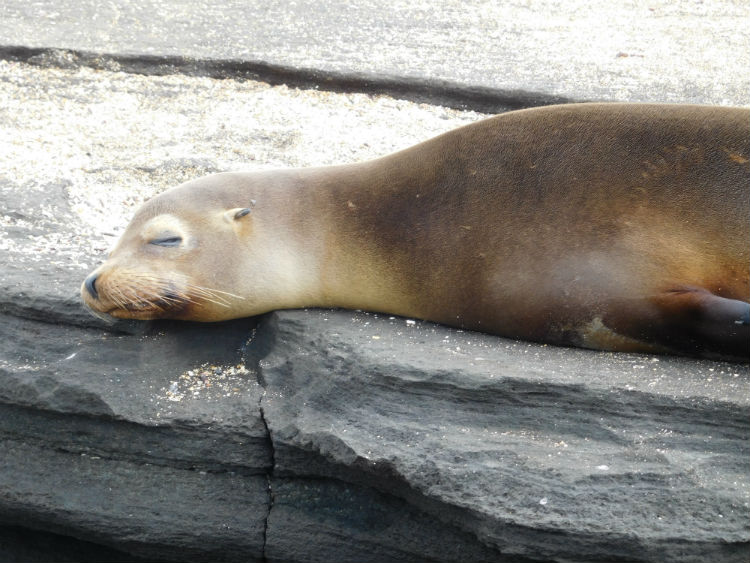 Sleeping sea lion - Galapagos wildlife