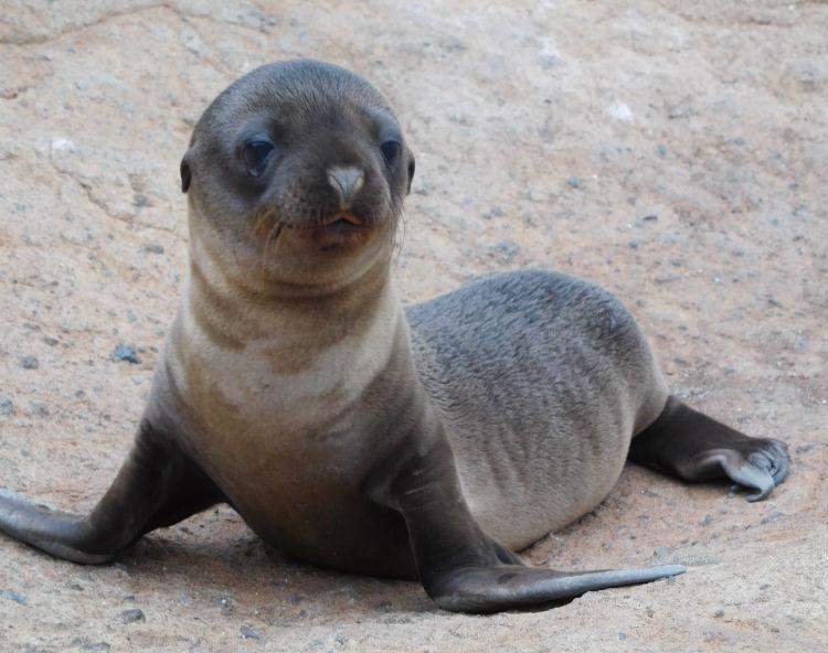 Seal pup - Galapagos wildlife