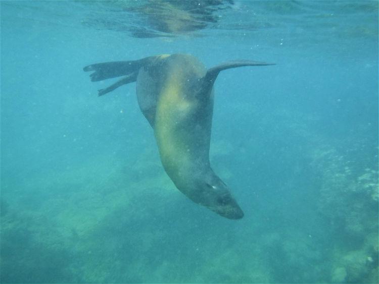 Underwater seal - Galapagos wildlife