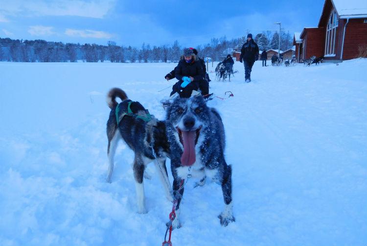 Husky dog - Husky sled excursion