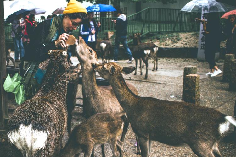 Deer in Nara Park - Japan
