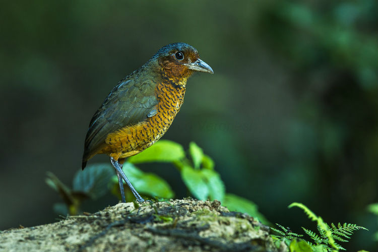 Giant Antpitta bird- Mindo Cloud Forest, South America