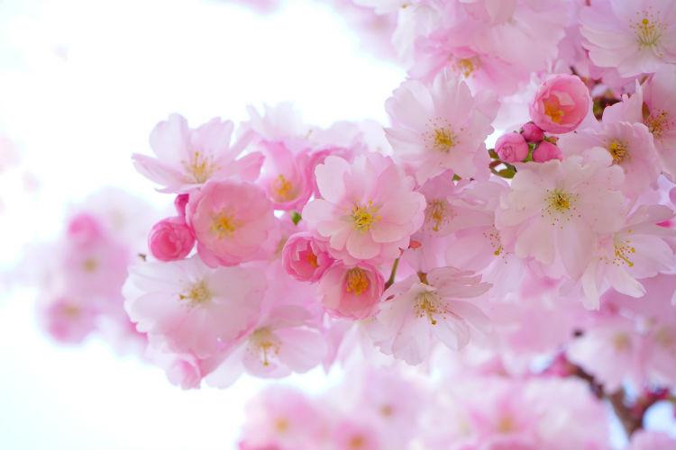 Japanese Cherry Blossom season