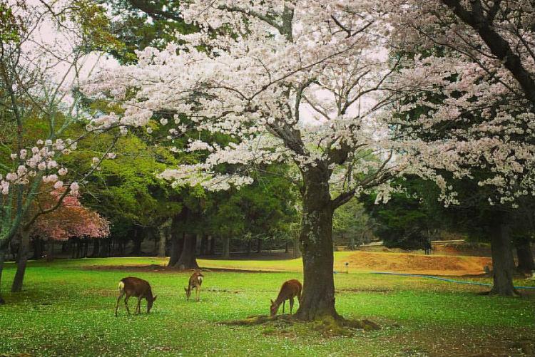 Nara Park - Japan