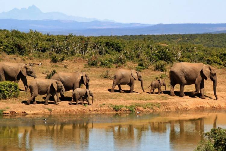 Elephant herd at the watering hole