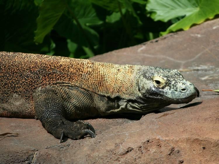 Komodo dragon - Indonesian wildlife