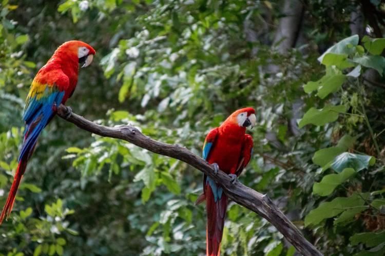 Macaw - South America wildlife