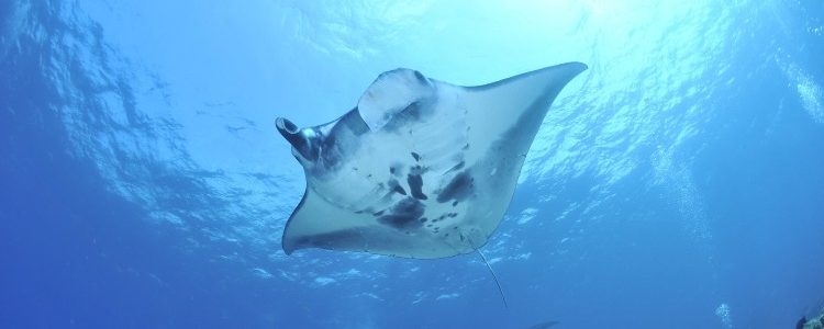 Manta ray - Australia wildlife