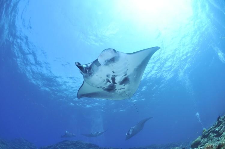 Manta ray - Australia wildlife