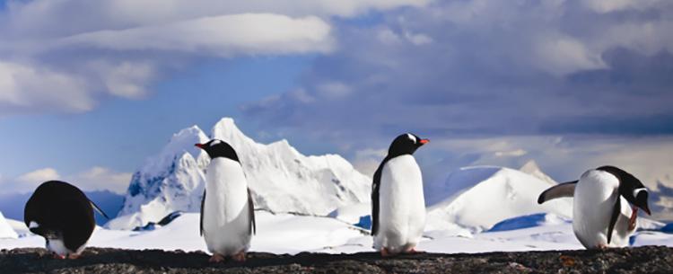 Antarctica wildlife - Penguin