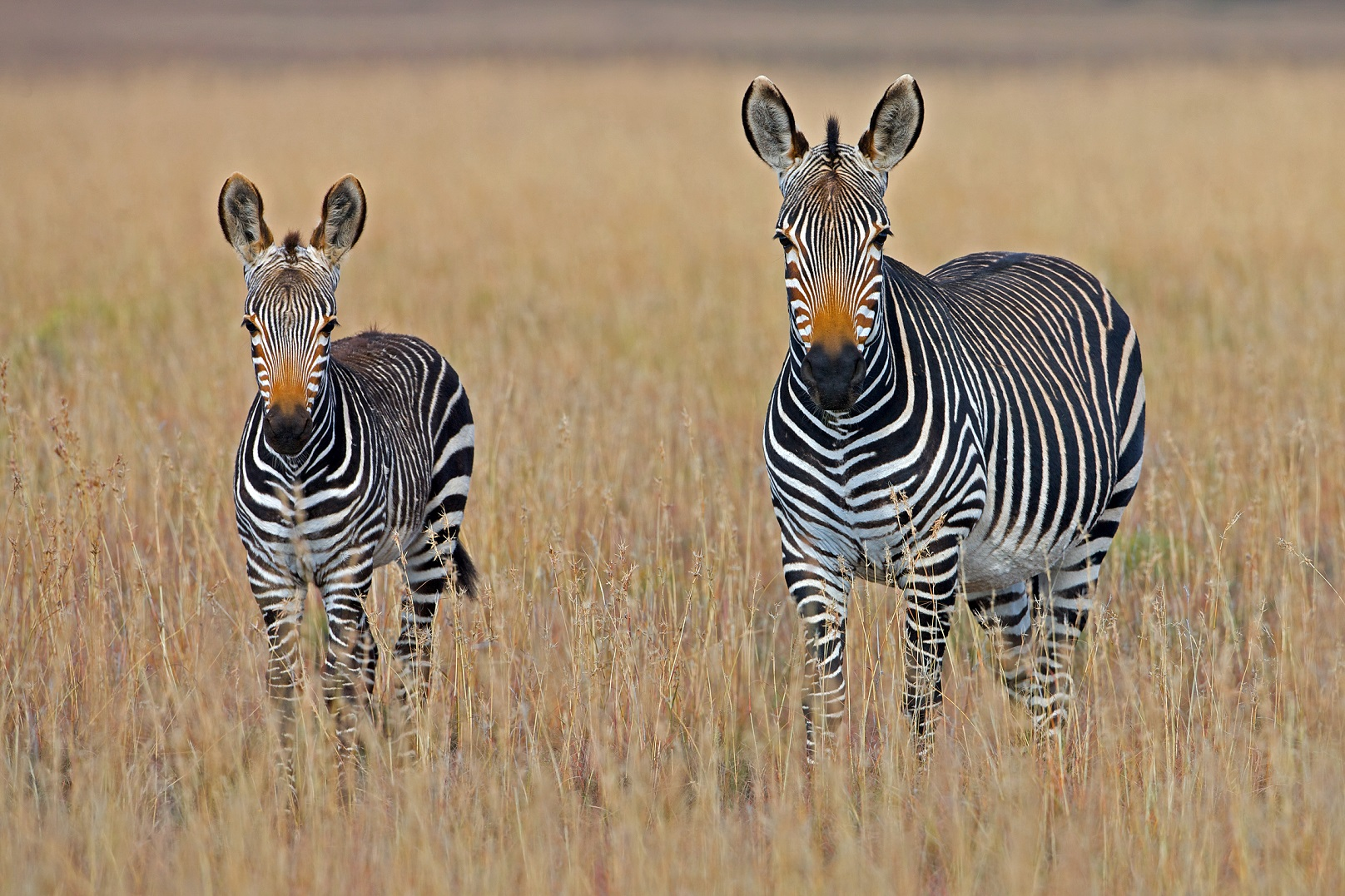 Two zebra standing in the grass in Africa