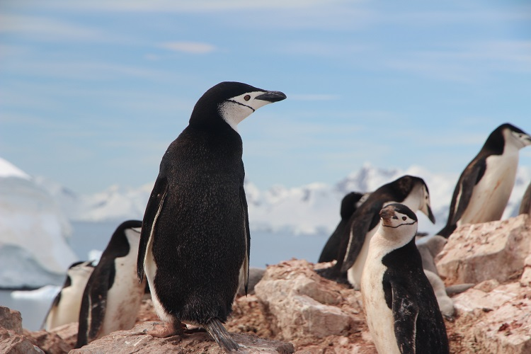 Chinstrap penguins seen during an Antarctica cruise