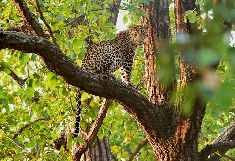 Leopard sitting on a tree branch in India