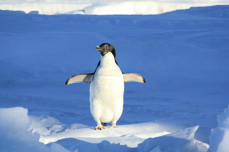 Penguin walking alone in the Arctic