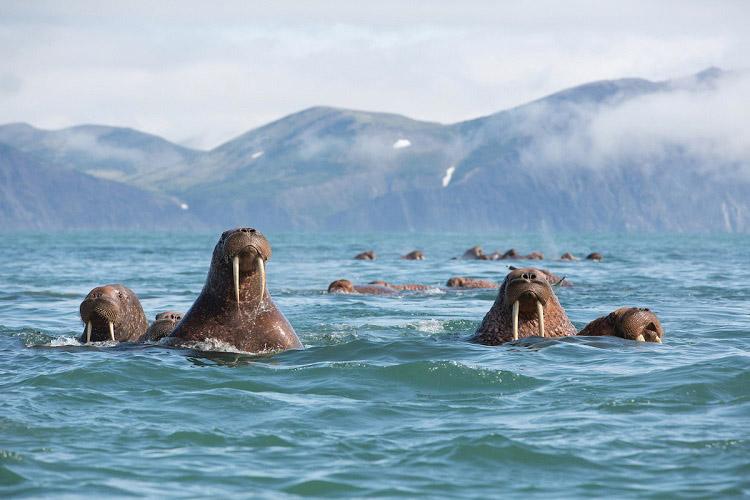 Walrus - Kamchatka