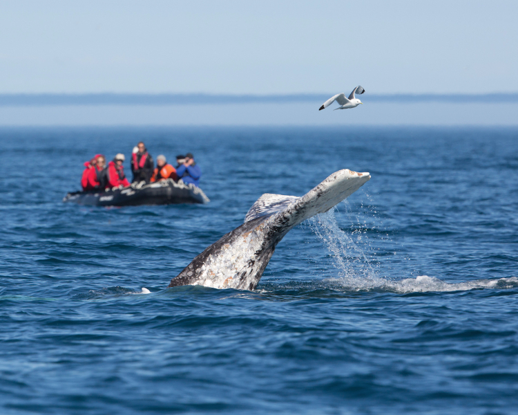 Excursion on Zodiac, seeing whales breach the waters