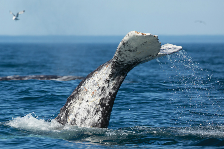 A grey whale diving under the water during a Silversea Alaska cruise