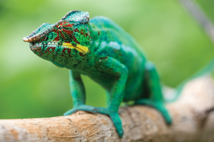 A bright green chameleon standing on a tree branch in Madagascar