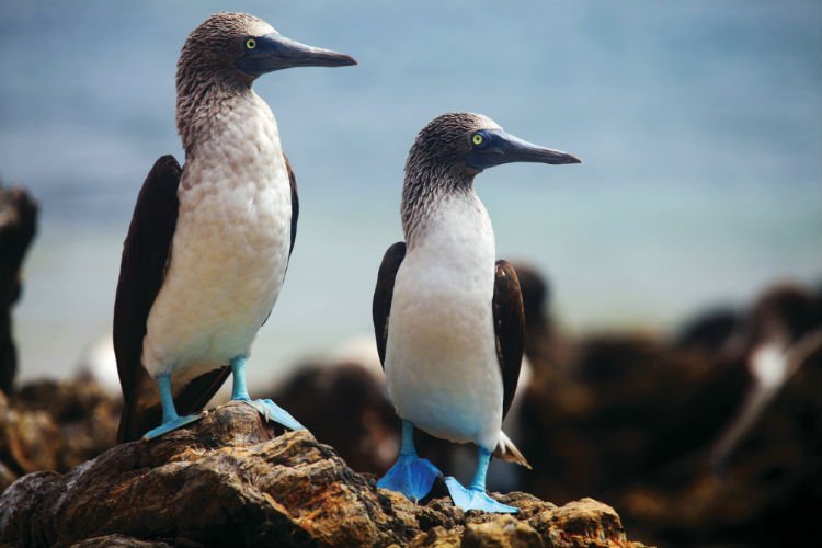 Blue-footed boobies - wildlife in the Galapagos